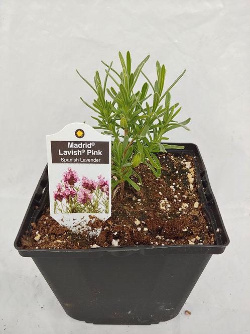 Herb - Lavender: Madrid Lavish Pink