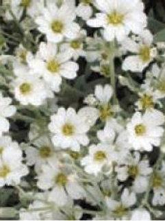Cerastium tomentosum (Snow in Summer)