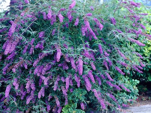 "Buddleia (Butterfly Bush) - ""Black Knight"""