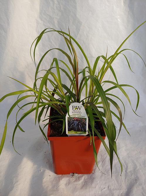 """Grass: Pennisetum - """"Vertigo"""""""