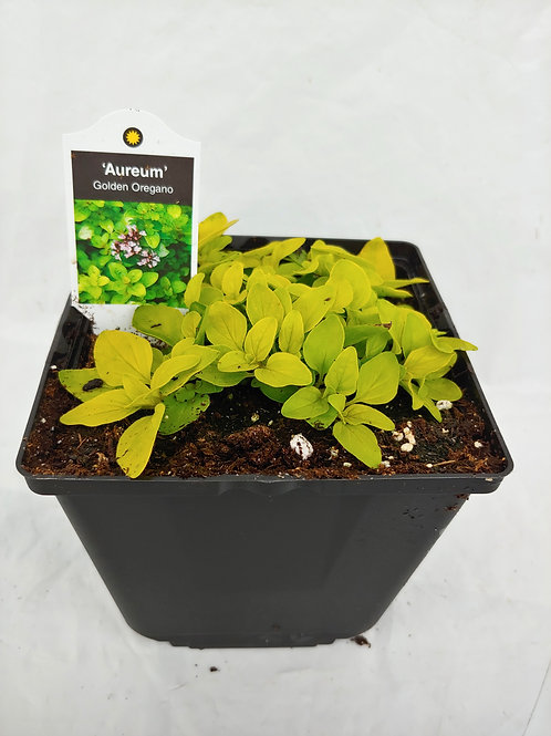 Herb - Oregano: Golden Oregano