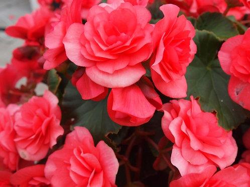 Begonia: Solenia Series