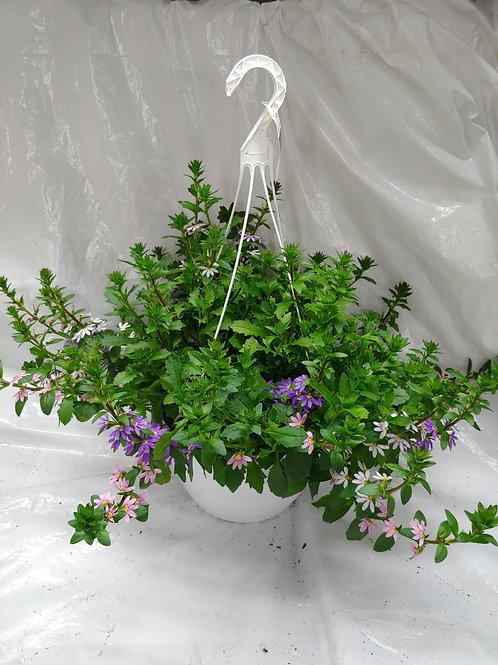 Scaevola (Fanflower) Hanging Basket