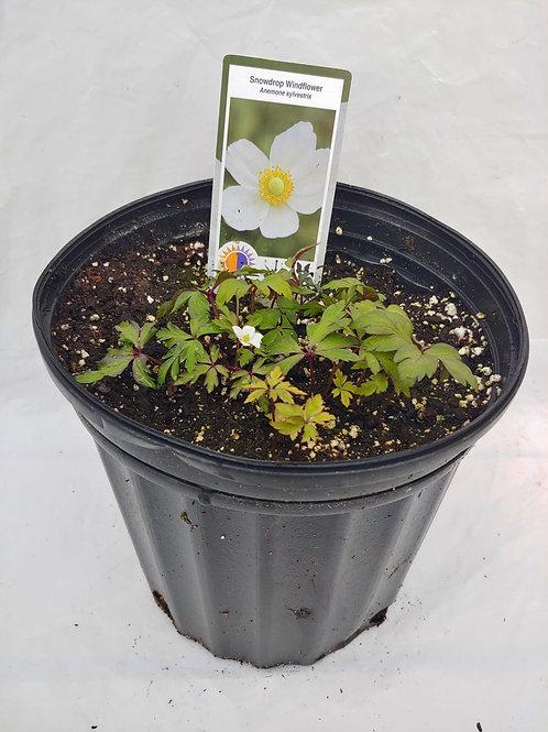 Anemone sylvestris (Windflower)