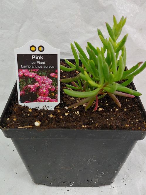 Lampranthus - Pink