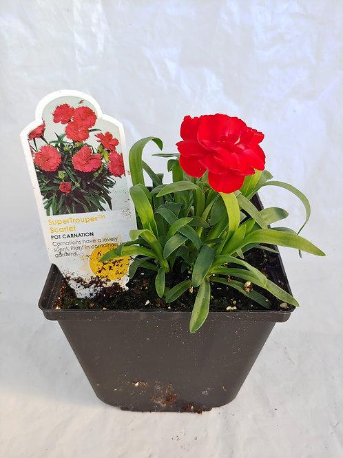Dianthus (Carnation)