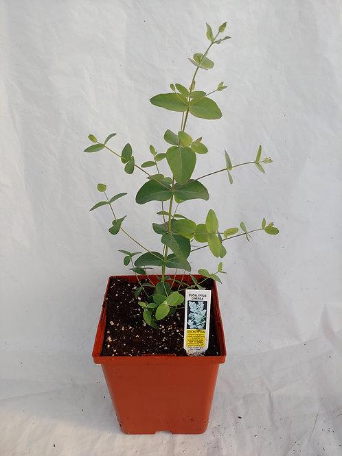 Eucalyptus Silverdrop