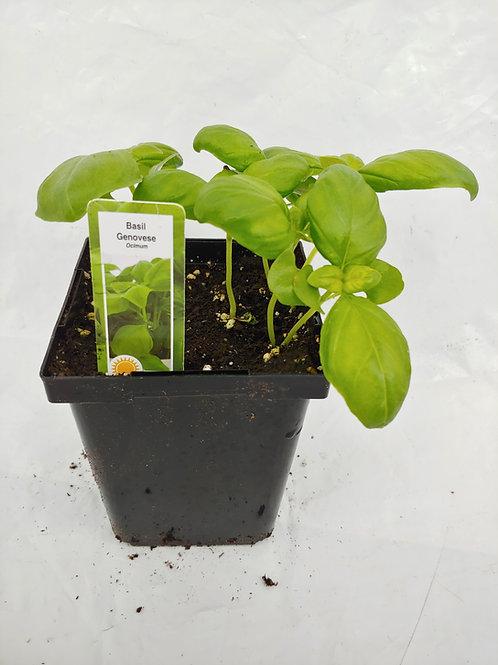 Herb - Basil: Genovese