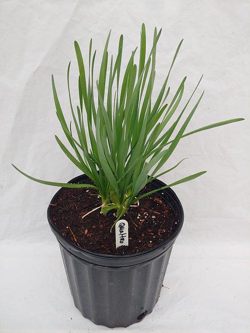 Allium (Ornamental Onion) - Quattro