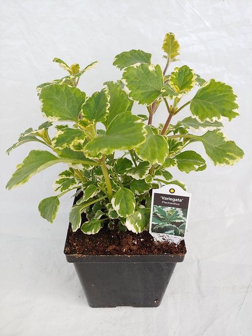 Candlestick vine (Plectranthus)