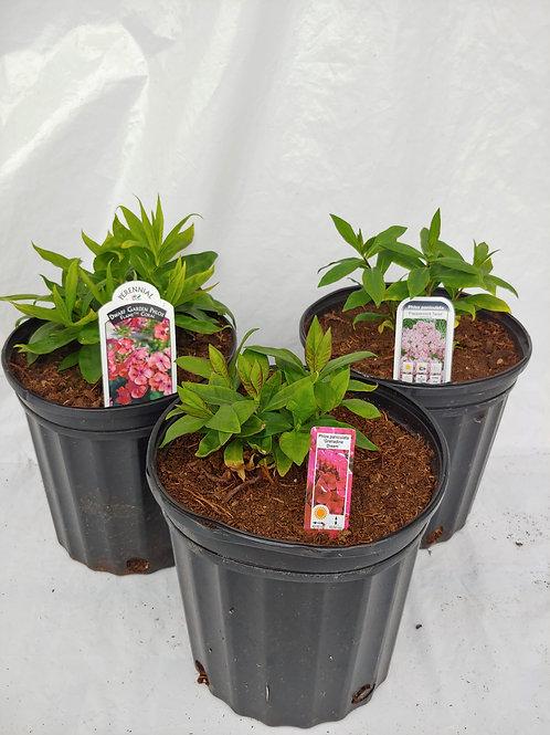 Phlox (Garden Phlox) – Compact varieties