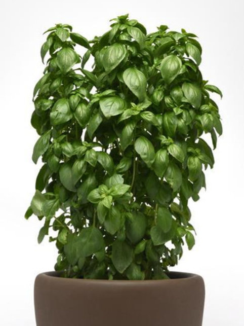 Herb - Basil: Emerald Tower
