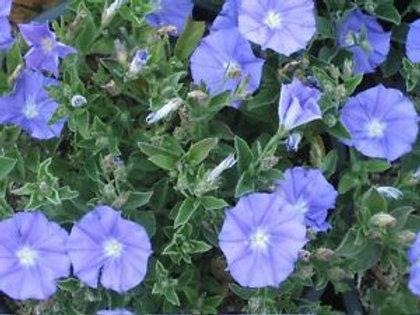 Convolvulus trailing blue