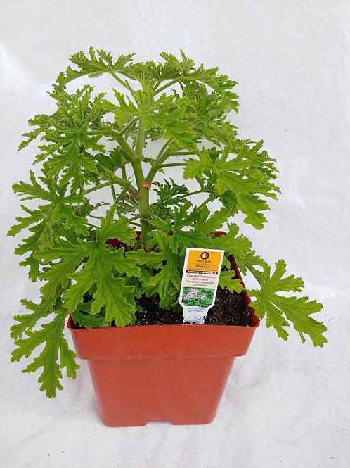 Citronella (Scented Geranium)