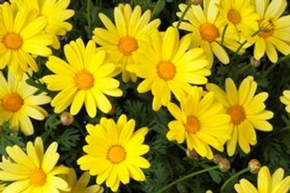 Daisy: Marguerite Daisy (Argyranthemum)