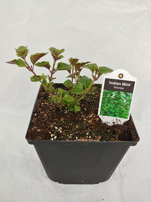 Herb - Mint: Satureja Indian Mint
