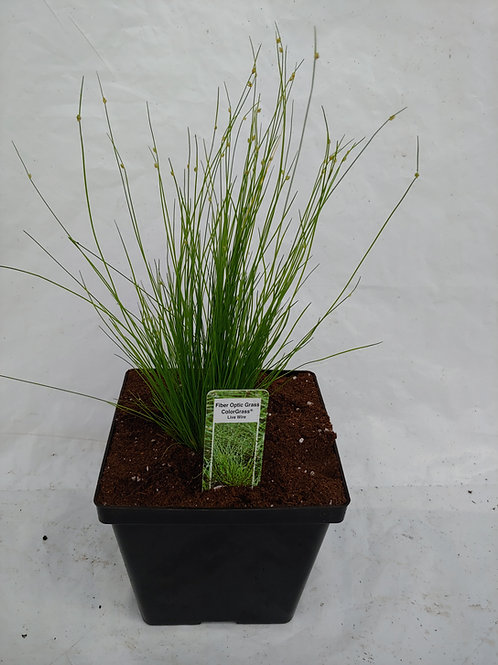 "Grass: Isolepsis - ""Fiberoptic Grass"""