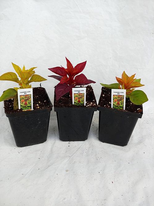 Celosia (tall varieties)