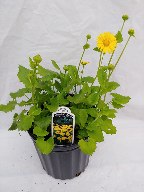 "Doronicum (Leopards Bane) - ""Leonardo"""
