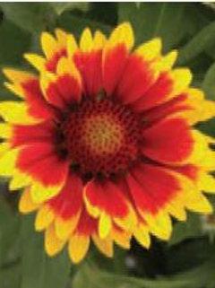 Gailardia (Blanket Flower)