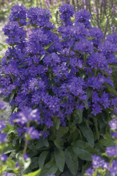 "Campanula (Clustered Bellflower) -""Freya"""