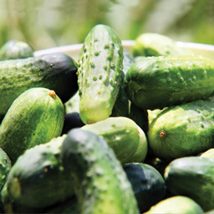 "Seeds: Cucumber - ""Pickling"""