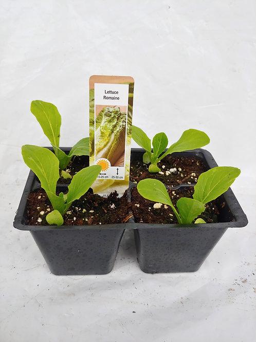 """Veg. - Lettuce: Romaine """"Green Towers"""""""