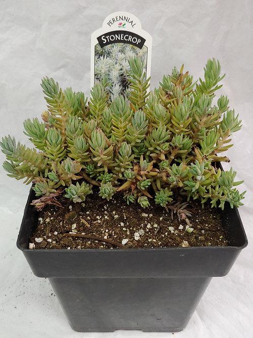 Creeping Sedum -Blue Spruce