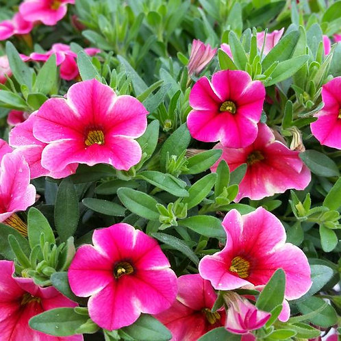 Calibrachoa: Volcano Series  (Million Bells)