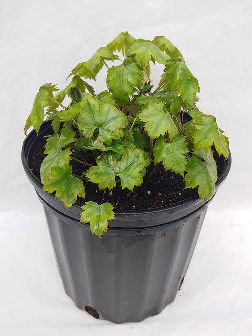 "Actaea japonica (Bugbane) - ""Cheju-Do"""