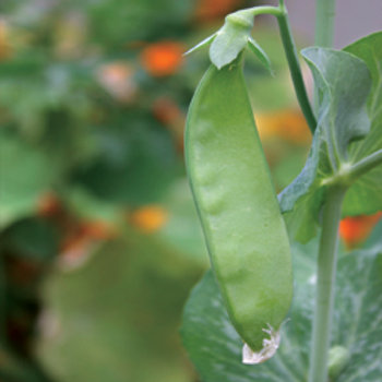 "Seeds: Peas - ""Sugar Dwarf Snow Pea"""