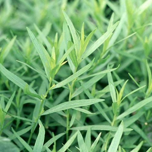 Herb - Tarragon: French Tarragon