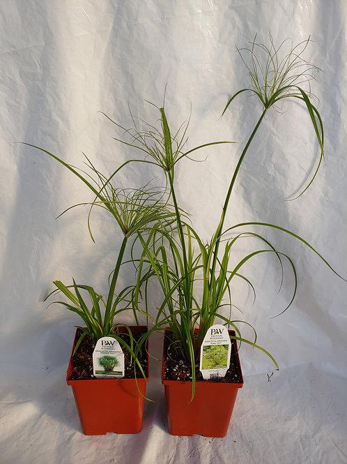 Grass: Tut Grass (Cyperus)