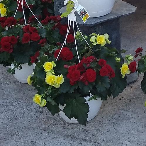"""Begonia – Solenia Begonia 12"""" Hanging Basket"""