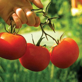 """Seeds: Tomato """"Scotia"""""""