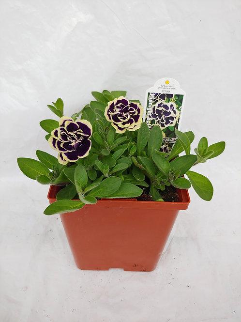 Petunia: Specialty Petunias