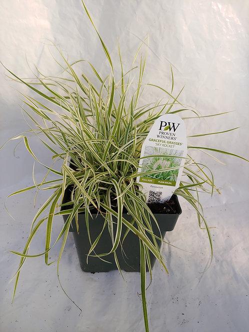"""Grass: Pennisetum - """"Sky Rocket"""""""