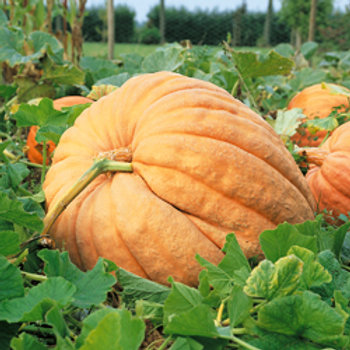 "Seeds: Pumpkin - ""Dill's Atlantic Giant"""