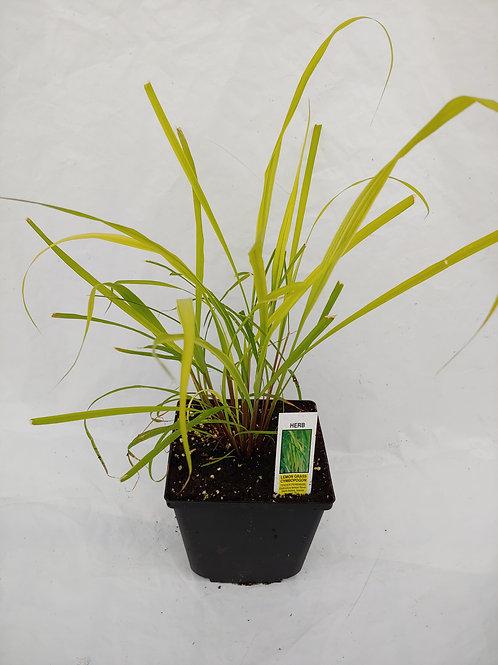 Herb - Lemon Grass