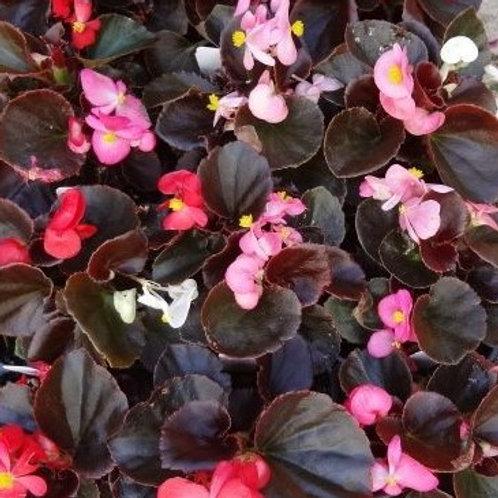 Begonia: Wax Begonias