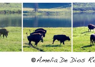 Una foto, un día: bisontes