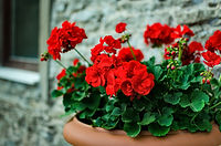 geranium flowers. pelargonium .jpg