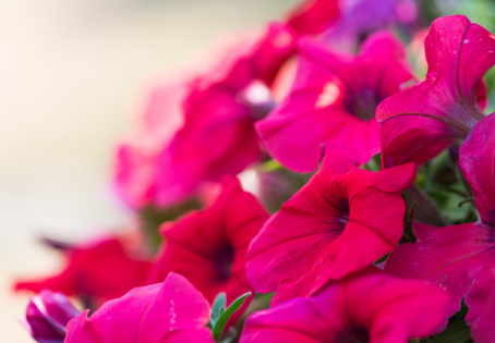 Wave Petunias - a breakdown of the different varieties