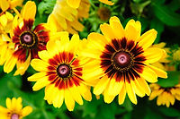 Large vibrant yellow flowers in a garden