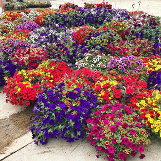 Tips for caring for our Hanging Basket