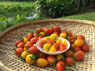 Cherry tomatoes and Cantaloupe melons are now available for our members!