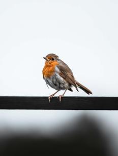 Walk The Line - Robin