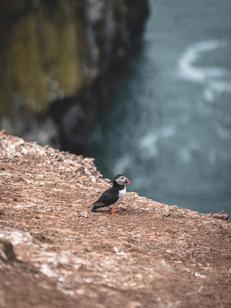 Atlantic Puffin Cliff