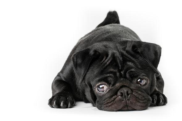 Black pug dog isolated on a white backgr