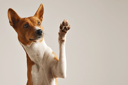 Adorable brown and white basenji dog smi